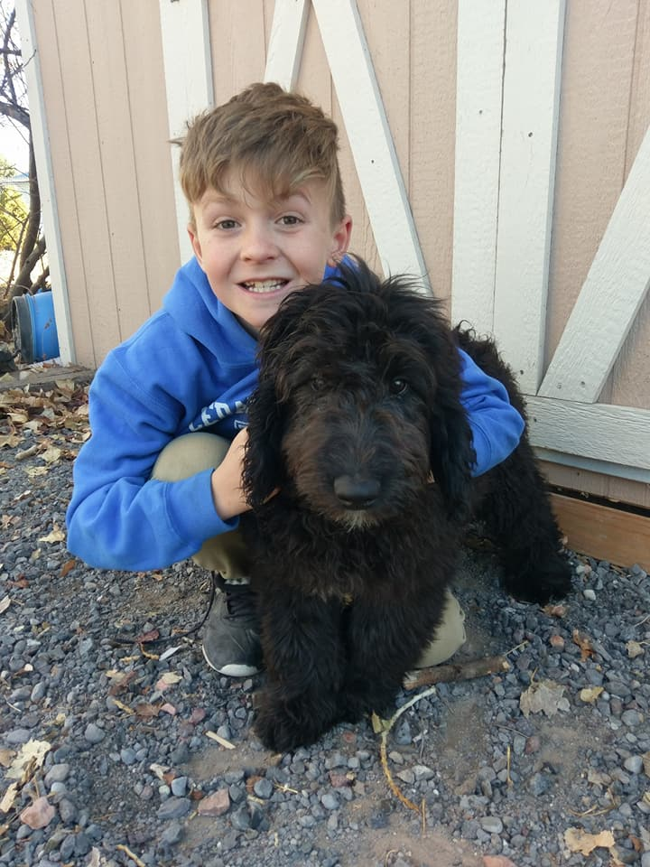Max Goldendoodle Service Dog For Sale