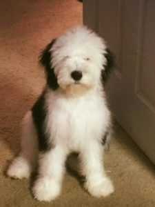 Ammco bus : Miniature sheepadoodle puppies for sale