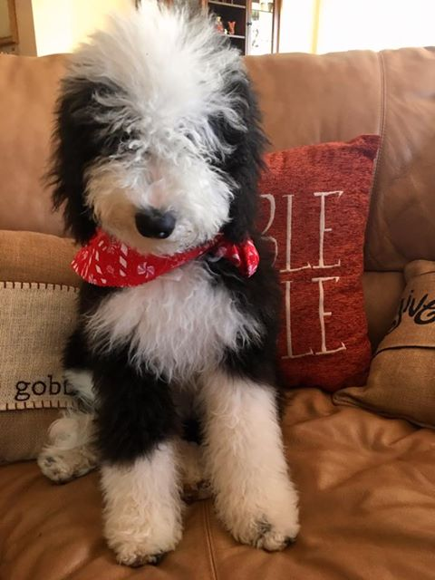 Adorable Pictures of Sheepadoodle Puppies | Open Range Pups