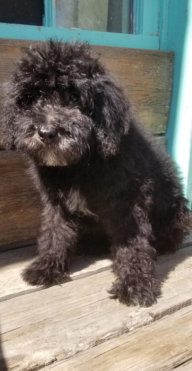 Puppies For Sale - Sheepadoodles
